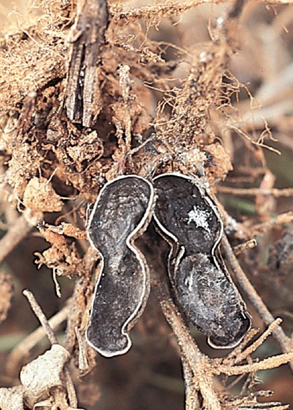rust in groundnut