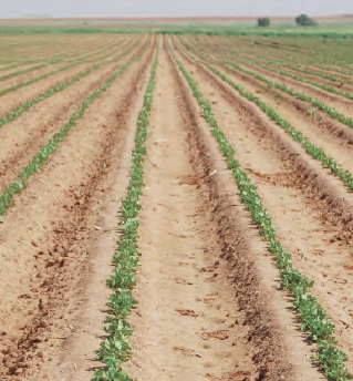Use of irrigation to activate residual herbicides helps keep early weed pressure in check.