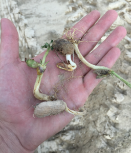 Increased moisture resulted in more sprouting in 2015.
