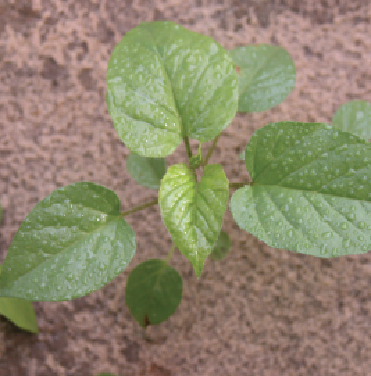 Controlling Perennial Peanut Weeds
