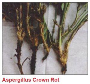 aspergilluscrownrot