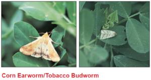 corn-earworm-tobacco-budworm