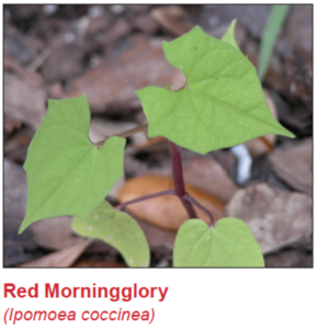 red-morningglory