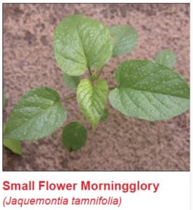 sm-flower-morningglory