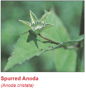 spurred-anoda