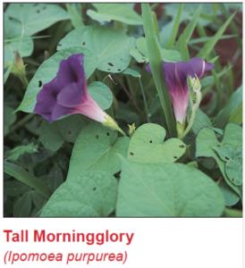 tall-morningglory