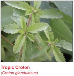 tropic-croton
