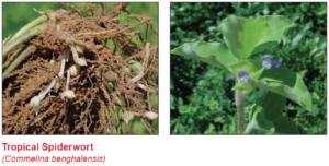 tropical-spiderwort