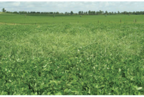 Two Herbicide Options  For Dryland Production