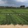 Using A Plant Growth Regulator