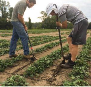 agronomy students dig peanuts in Live Oak, Florida