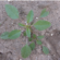 Critical Period Of Weed Control