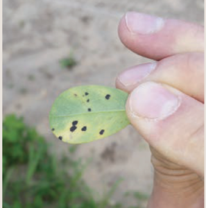late leaf spot