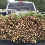 peanuts in a pickup truck