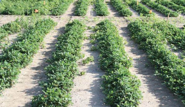 peanuts growing in field