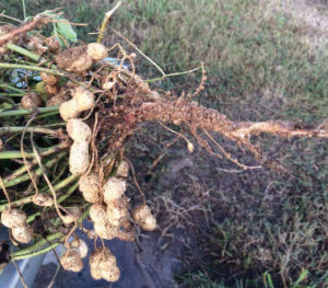 peanuts showing roots