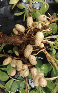 nematode damage to peanuts