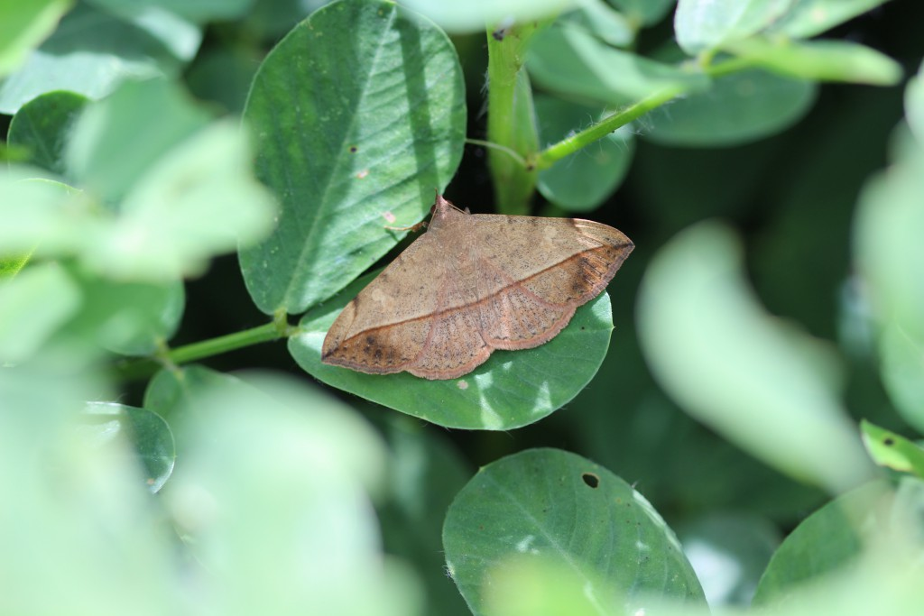 velvetbean caterpillar
