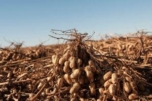 oklahoma peanuts