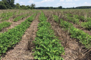 reduced tillage in peanuts
