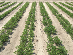 twin-row plantings for peanuts
