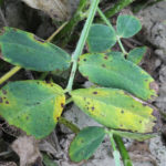 early leaf spot