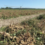 peanuts, center pivot
