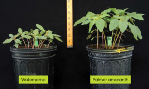cadre herbicide
