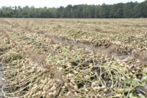 south carolina peanut field