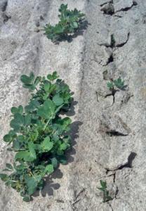 replanting peanuts