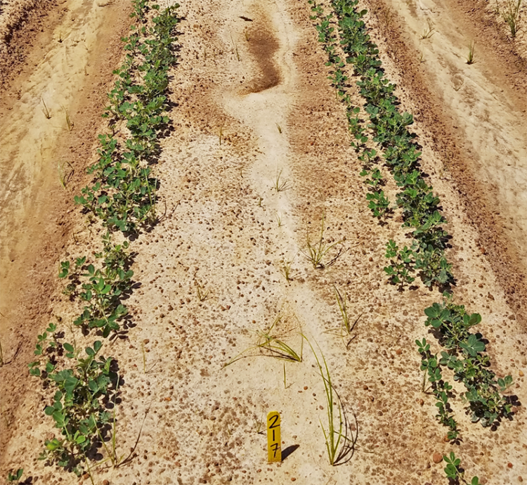 peanut replanting
