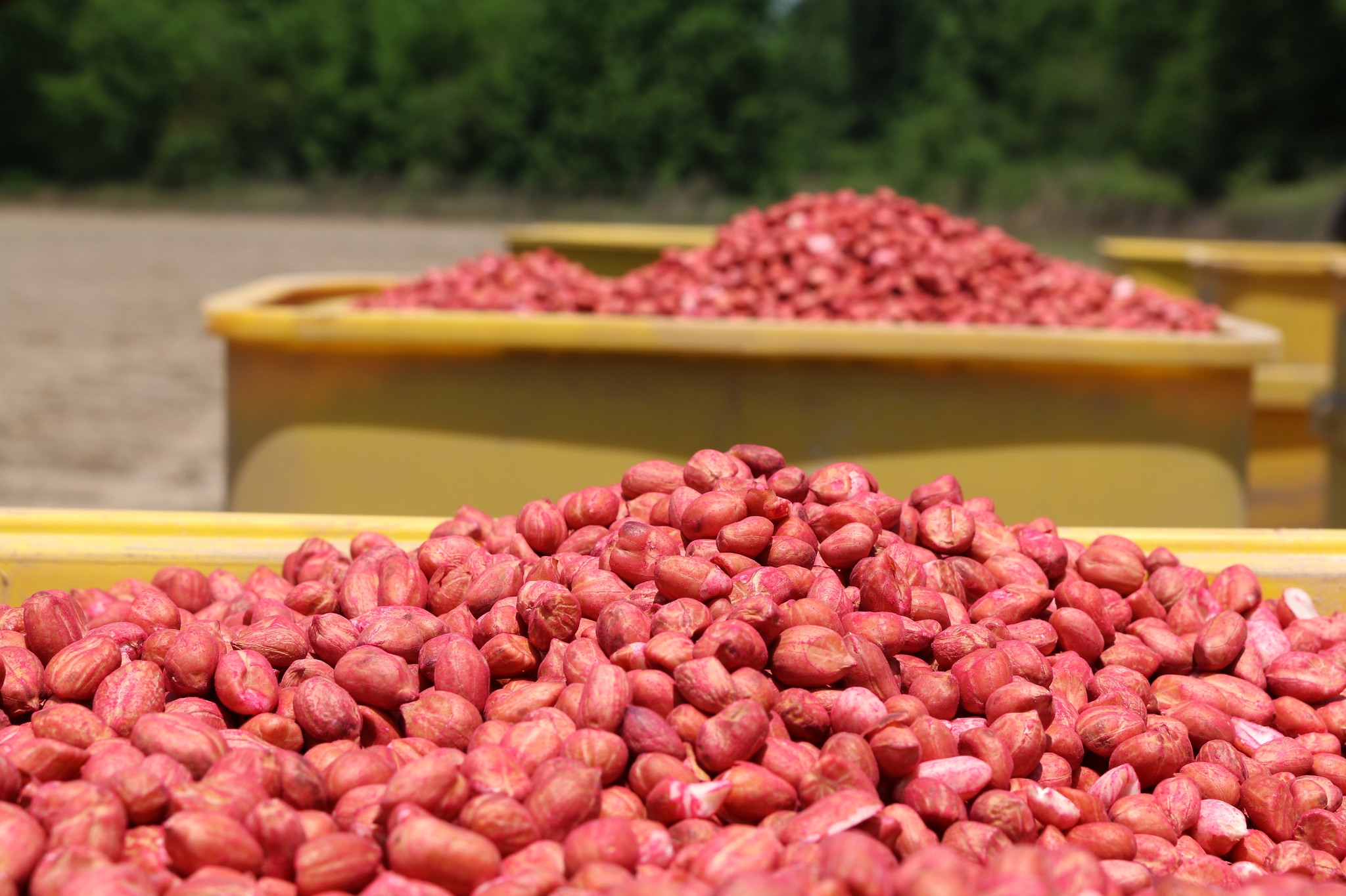 peanut seed