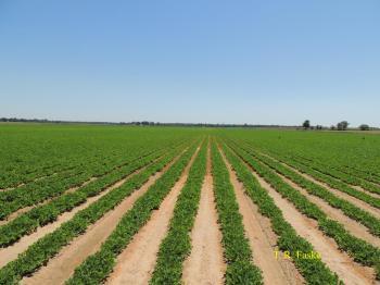 university of arkansas peanut field