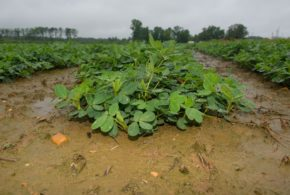 Mississippi peanut, soybean acreage exceeds forecasts as cotton tumbles