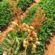 Texas peanut acres up, yields likely down