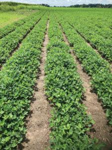 wilders peanut crop