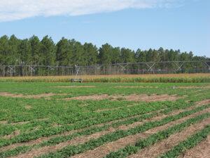 Stripling irrigation field day
