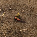 seedling emergence