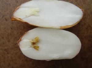 Calcium deficiency versus normal seed in Virginia type peanuts