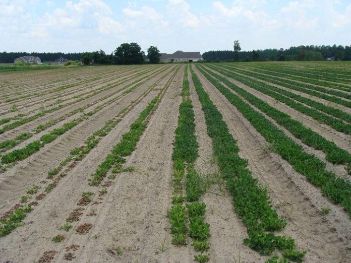 peanut field with pH problem